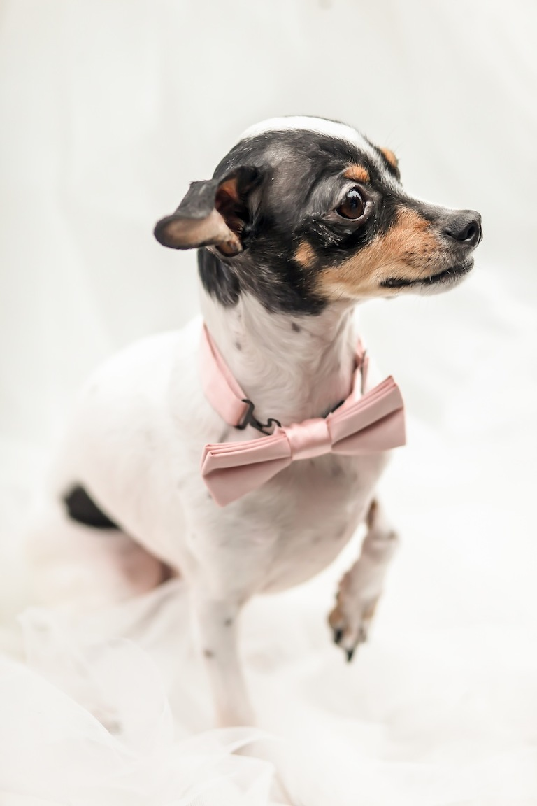 Wedding Dog in Pink Bowtie