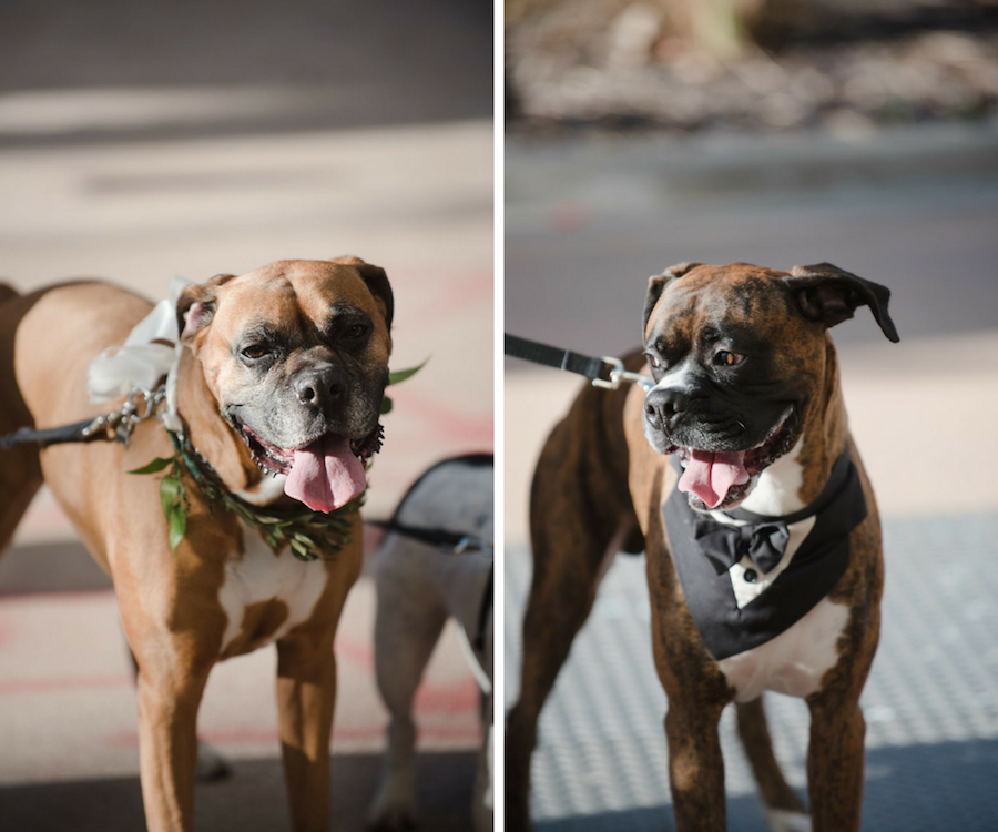 Dogs in Tuxedo and Greenery Collar at Wedding Ceremony with Pets | Tampa Bay Wedding Venue The Vault | Wedding Photographer Marc Edwards Photographs