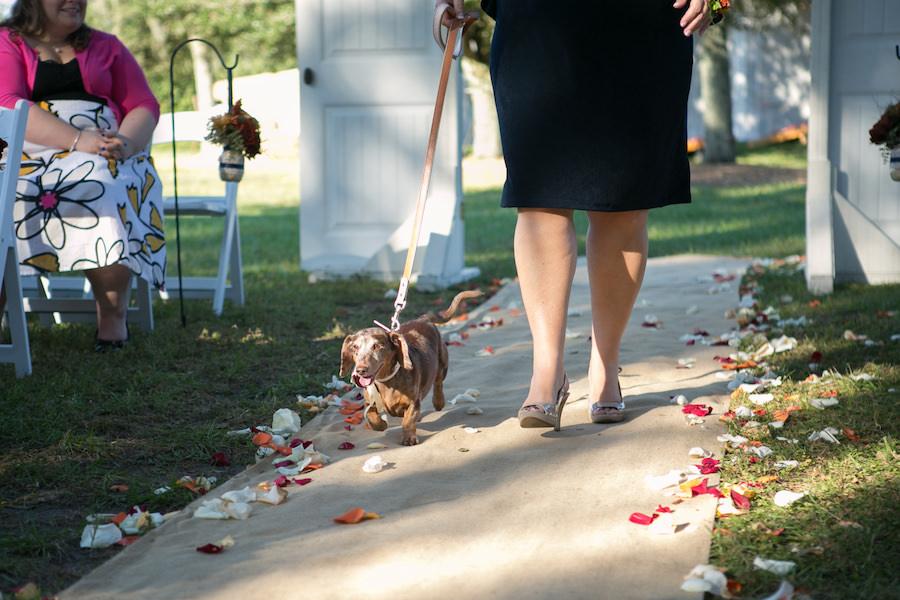 Dacshund Ring Bearer | Dogs in Wedding Ceremony