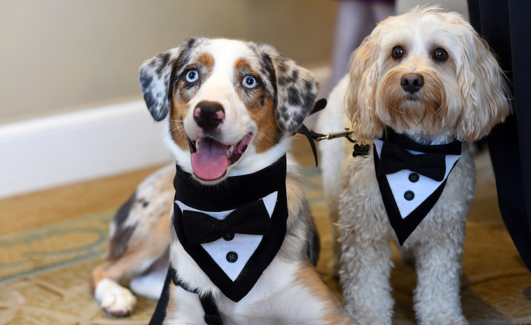 Dogs of Honor Wedding Portrait with Black and White Tuxedo Collars | Tampa Bay Wedding Pet Care and Planning Fairytail Pet Care