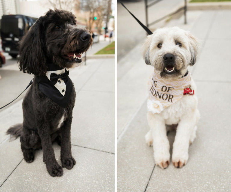 Dog of Honor Portraits in Tuxedo and Lace Collar | Tampa Bay Wedding Pet Coordinators FairyTale Pet Care