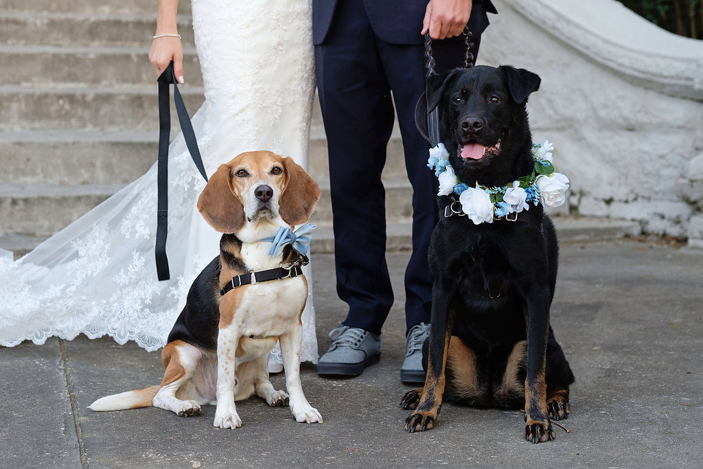 Bride and Groom Wedding Portrait with Pet Dogs in Blue Bow Tie and White and Blue Flower Collar | Tampa Wedding Pet Sitting by Fairytail Pet Care | Photographer Marc Edwards Photographs