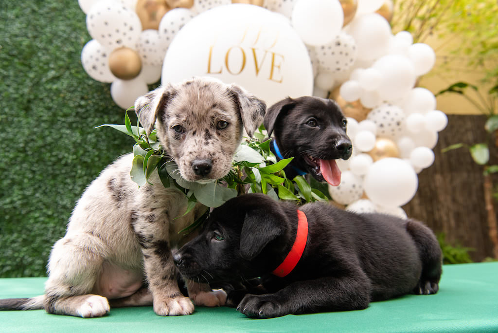 Three Puppies with Greenery Leaf Collar, White and Gold Balloon Backdrop | Tampa Bay Wedding Photographer Caroline and Evan Photography | Pet Coordinators FairyTale Pet Care | Designer and Planner Southern Glam Weddings and Events | St. Pete Wedding Venue NOVA 535
