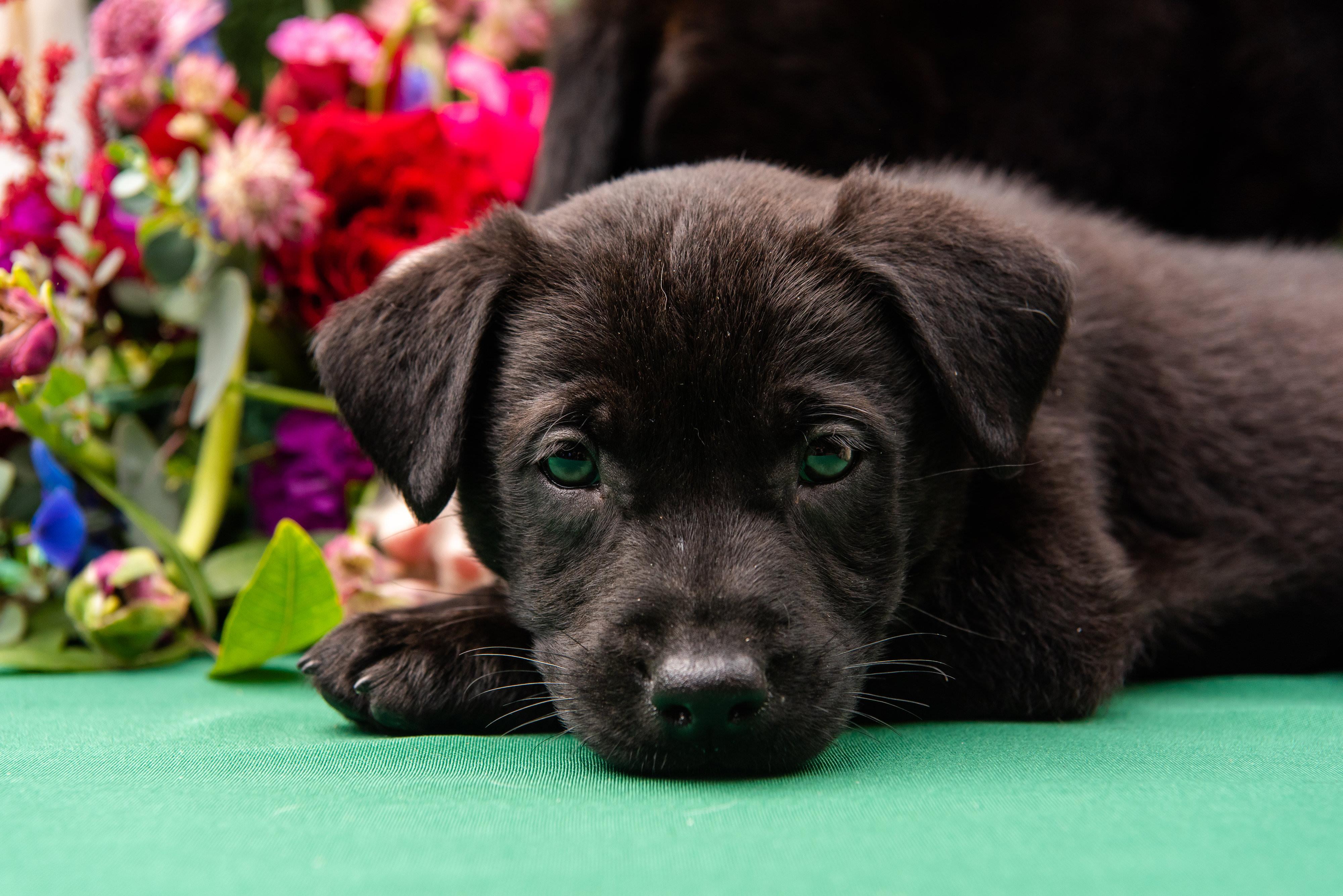 Black Puppy Closeup Portrait | Tampa Bay Wedding Photographer Caroline and Evan Photography | Pet Coordinators FairyTale Pet Care