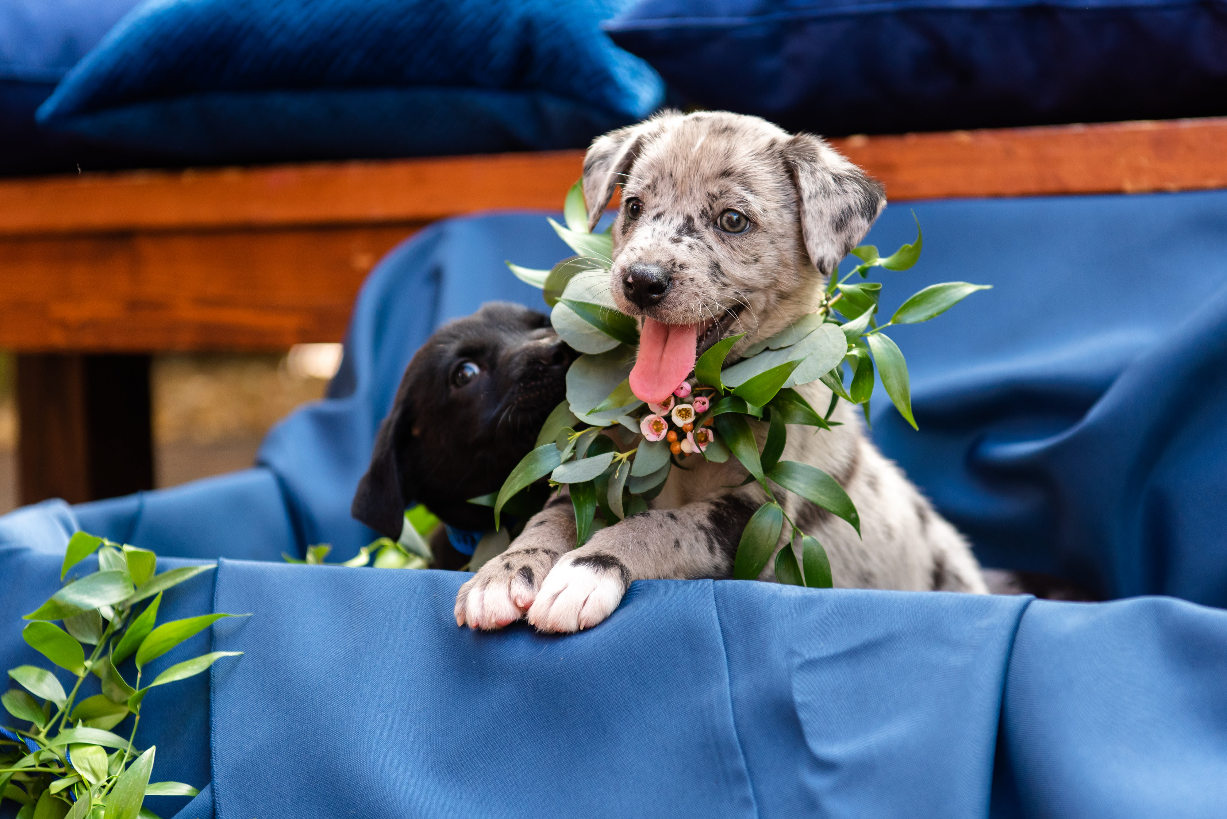 Grey and White Speckled Puppy, Black Puppy with Greenery and Floral Collars and Blue Linen Backdrop | Tampa Bay Wedding Photographer Caroline and Evan Photography | Florist Monarch Events and Design | Designer and Planner Southern Glam Weddings & Events | Pet Coordinators FairyTale Pet Care