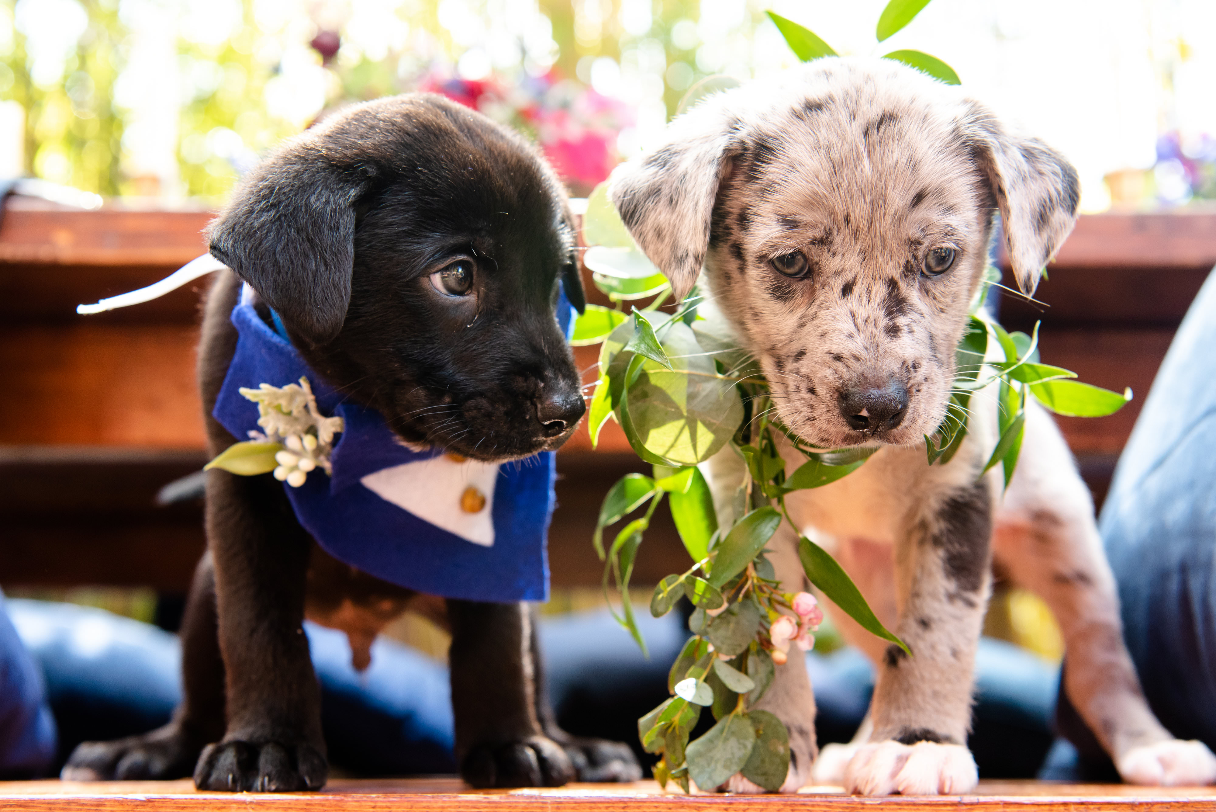Black Puppy with Blue and White Tuxedo, Grey and White Speckled Puppy with Greenery Leaf Collars | Tampa Bay Wedding Photographer Caroline and Evan Photography | Pet Coordinators FairyTale Pet Care | Florist Monarch Events and Design | Designer and Planner Southern Glam Weddings & Events