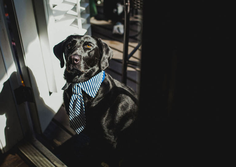 Tampa Bay Dog in Tie for Wedding, Blue and White Striped Pet Accessory