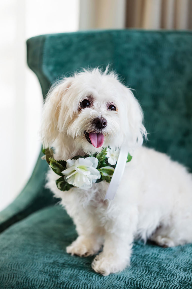 White Dog with White Flower and Greenery Collar | Tampa Bay Pet Planner FairyTail Pet Care